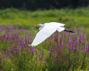Great Egret, by Matthew Zeitler