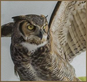great-horned-owl-ravensbeard